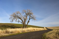 Old tree on the Palouse. Royalty Free Stock Photos