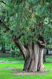 An old tree. In park Royalty Free Stock Image