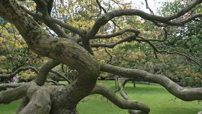 Old tree in the park. Dry oak with twisted branches stock video