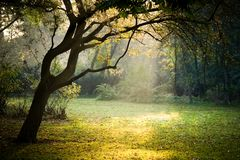 Old tree in park and sunbeams in autumn. Misty autumn in park with old tree and sunbeams Stock Photo