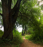 The old tree beside the path. Stock Photography