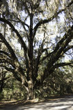 Old Tree at Paynes Prairie Royalty Free Stock Image