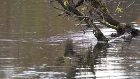 Old tree in the River. Close up of an old tree in a River stock video footage