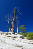 Old tree on rock blue sky Stock Photography
