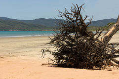 Old tree root on the beach in Queensland Royalty Free Stock Photography