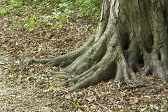 Old tree root. Root of a beautiful old, big tree Royalty Free Stock Photo