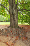 Old tree root. Root of old beech tree stock photo