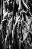 Old tree roots. Stock Photo