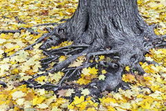 Old tree roots covered with yellow maple leaves. Old tree trunk and roots covered with yellow maple leaves at autumn Royalty Free Stock Image