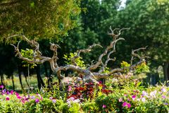 Decoration of the flowerbeds. Old tree roots in the decoration of the flowerbeds in the park royalty free stock photo