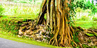 Old tree roots. Exterior roots of an old tree Stock Image