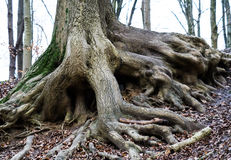 Old tree roots. Forest floor with old roots extending from the tree stock photos