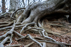 Old tree roots Royalty Free Stock Images