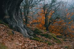 Roots of a tree in the forest on the background of autumn leaves royalty free stock photos