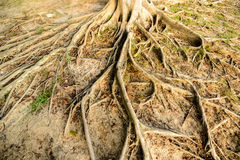 Old tree roots Royalty Free Stock Photos