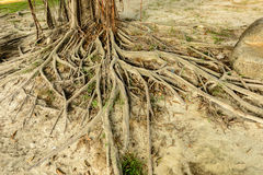 Old tree roots Stock Photo