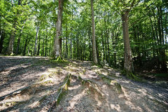 Old tree roots in green forest at sunny day Stock Photography