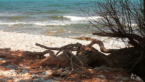 Old tree roots growing on the sea shore. The old tree near the sea stock video