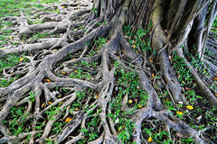 Old Tree Roots Stock Photography