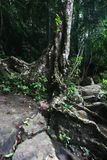 Old tree with roots on stones in rainforrest, Sril Stock Photos