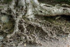 Old tree roots Stock Images