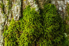 Old tree rough textured bark covered with green moss Royalty Free Stock Photo