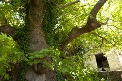 Old Tree on Samos Royalty Free Stock Image