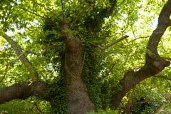 Old Tree on Samos Stock Photos