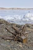 Old tree on the shore royalty free stock photo