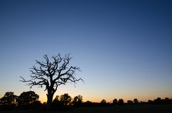Old tree silhouette Royalty Free Stock Image