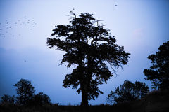 Old tree silhouette Royalty Free Stock Photos