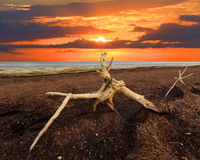 Old tree on Sivash dead sea. Against sunset background Stock Photography