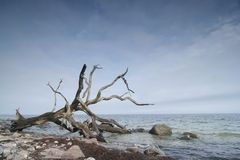 Old tree skeleton. Old tree fallen on the sea coast in Denmark royalty free stock photos