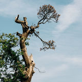 Old tree and sky background Stock Photography