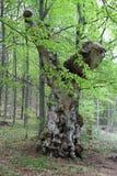 Old tree in Slovak Paradise National park, Slovakia Royalty Free Stock Photography