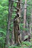 Old tree in Slovak Paradise National park, Slovakia Stock Photos