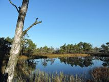Old tree and small lake in swamp, Lithuania Royalty Free Stock Photos