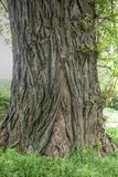 Old tree. In the spring Royalty Free Stock Photo