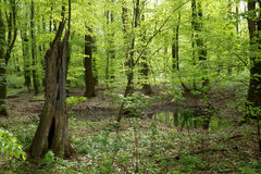 Old tree in spring mixed forest Royalty Free Stock Image