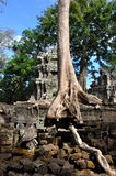 Old Tree that standing on the Wall in Wat Ta Prohm Royalty Free Stock Photography