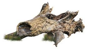 Cut out tree stump. Dead tree.