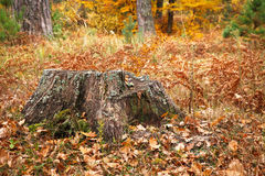 Old tree stump in autumn Stock Photos