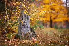 Old tree stump in autumn Stock Photo