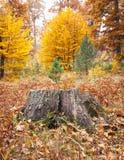 Old tree stump in autumn Stock Photography