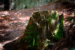 Old tree stump in countryside Royalty Free Stock Photography