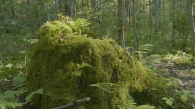 Old tree stump covered with moss in the coniferous forest, beautiful landscape. Stump with moss in the forest.  Royalty Free Stock Image