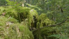 Old tree stump covered with moss in the coniferous forest, beautiful landscape. Stump with moss in the forest.  stock footage