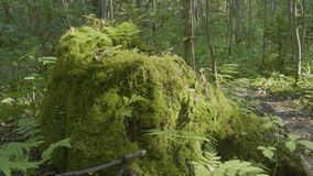 Old tree stump covered with moss in the coniferous forest, beautiful landscape. Stump with moss in the forest.  stock video footage