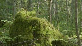 Old tree stump covered with moss in the coniferous forest, beautiful landscape. Stump with moss in the forest.  stock video