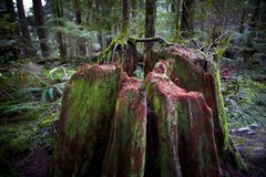 Old tree stump covered with moss. In the coniferous forest, beautiful landscape Royalty Free Stock Images